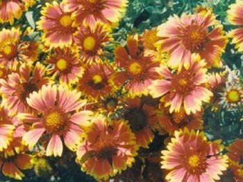 flower_blanket_flower
