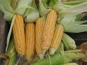 Corn2C20Golden20Bantam.jpg