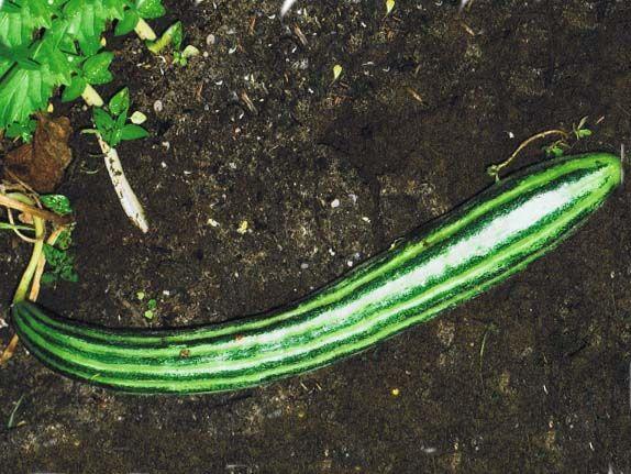 Cucumber2C20striped20armenian.jpg