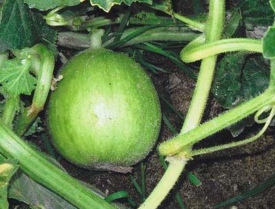 Cucumber2C20tondo1.jpg
