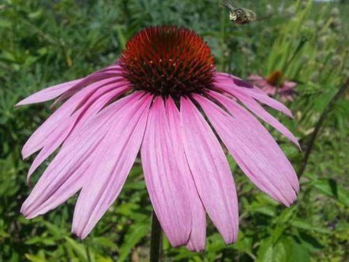 Flower2C20Echinacea20Russells28229.jpg