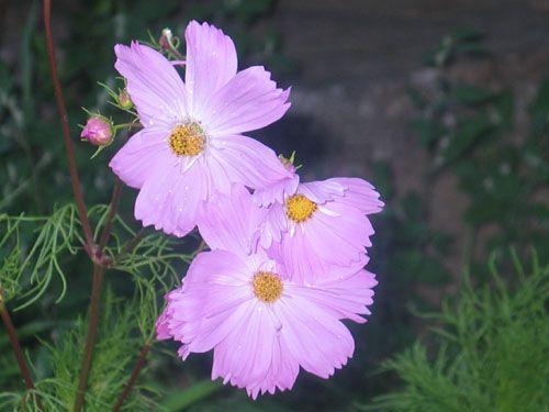 Flower2C20cosmos.jpg
