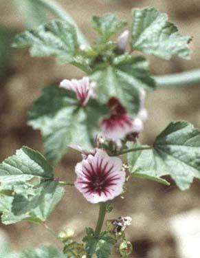 Flower2C20zebra20mallow.jpg