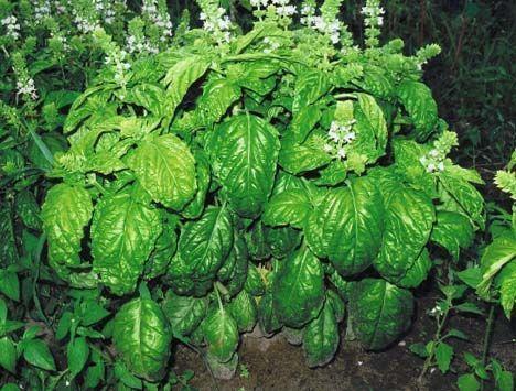Herb2C20Basil2C20Large20Leaf28229.jpg