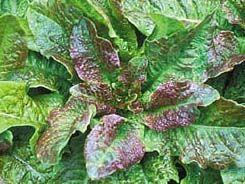 Lettuce2C20cracoviensis.jpg
