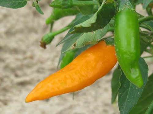 Pepper2C20criolla20sella28229.jpg