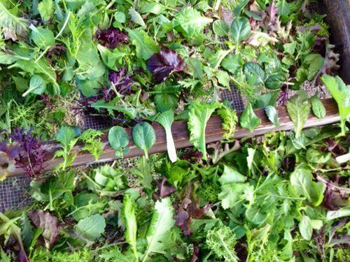 Salad20mix228229.jpg
