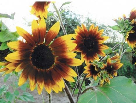 Sunflower2C20Ornamental.jpg