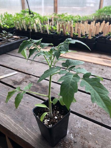Tomato20plant281829.jpg