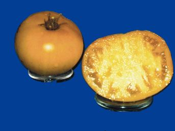 Tomato2C20livingstons20gold20queen.jpg