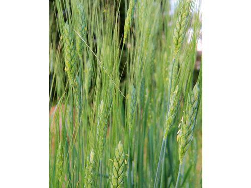 Wheat2C20Emmer.jpg