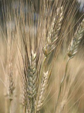 Wheat2C20Marquis28229.jpg
