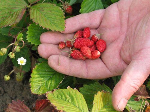 alpine_strawberry_red.jpg
