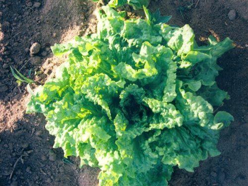 arctic_king_lettuce.jpg
