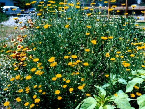 arrow_park_daisy.jpg
