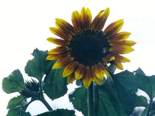 autumn_beauty_sunflower.jpg