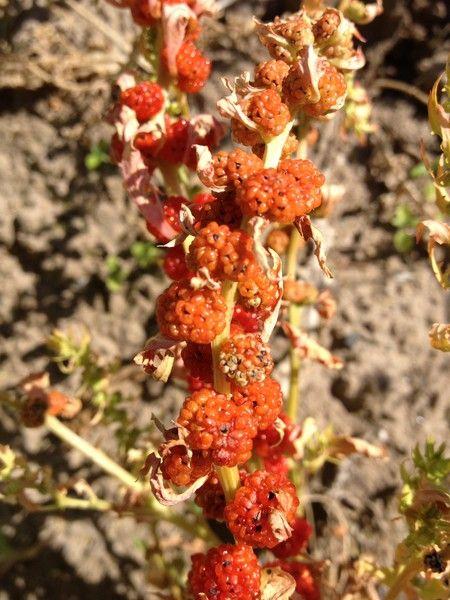 beetberry.jpg