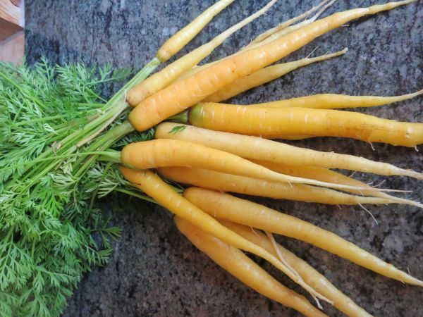 carrot2C20dutch20gold.jpg