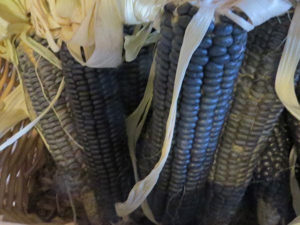 corn2C20Hope20Blue.jpg