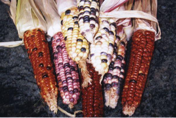 corn_mandan_bride.jpg