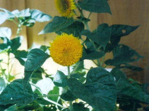 dwarf-sunflower.jpg
