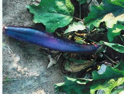 eggplant2C20ping20tung.jpg