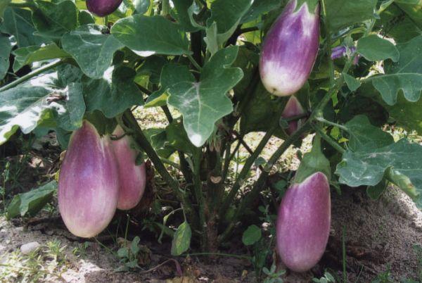 eggplant_lavender.jpg