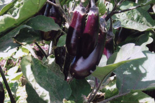 eggplant_purple_cluster.jpg