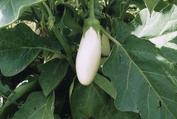 eggplant_snowy.jpg