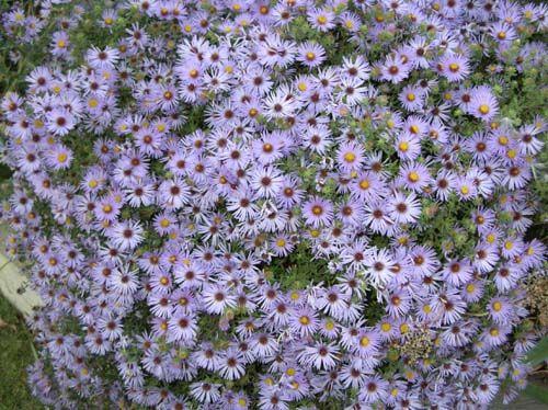 flower2C20aster2C20showy.jpg