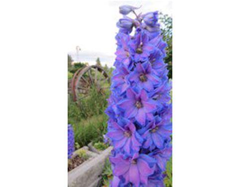 flower2C20delphinium.jpg