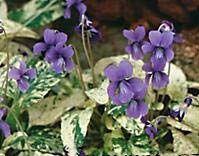 flower2C20fuji20dawn20viola.jpg