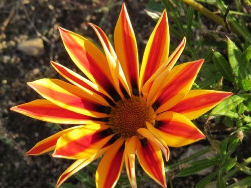 flower2C20gazania.jpg