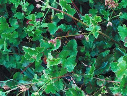 flower2C20geranium2C20cocoanut20scented.jpg
