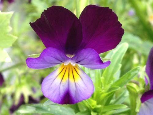 flower2C20johnny20jumpup28229.jpg
