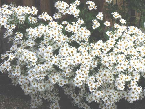flower2C20tansy2C20jackpot.jpg