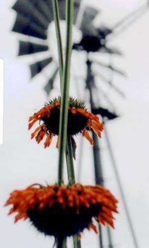 flower_lions_ear28229.jpg