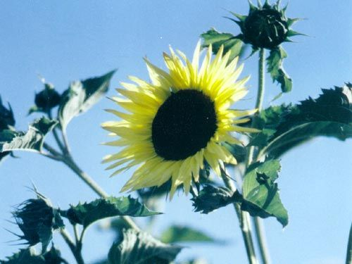 giant_sungold_sunflower.jpg