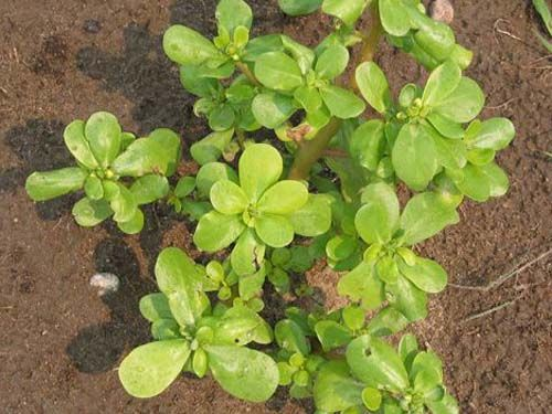 greens2C20purslane2C20golden.jpg