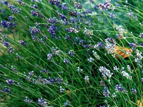 lavender28229.jpg