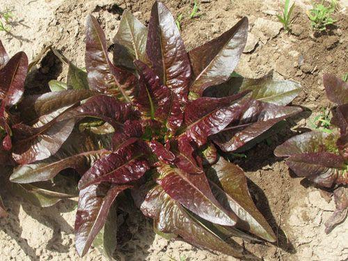 lettuce2C20les20orielles20du20diable.jpg