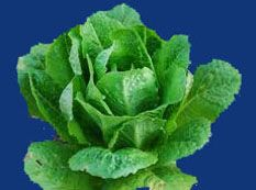 lettuce2C20parris20island20cos.jpg