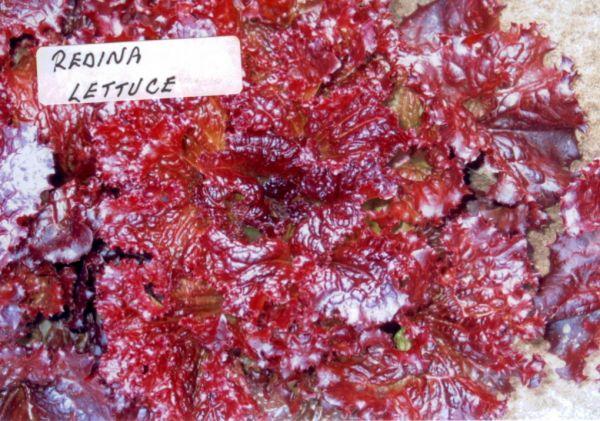 lettuce_redina.jpg