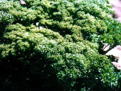 parsley_curled_leaf28329.jpg
