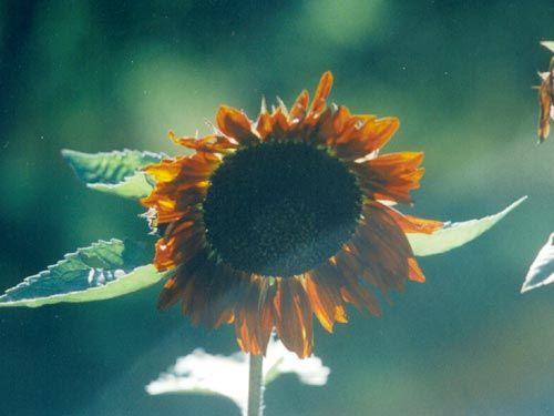 prado_red_sunflower.jpg