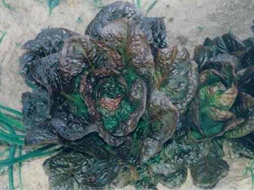 red_romaine_lettuce.jpg