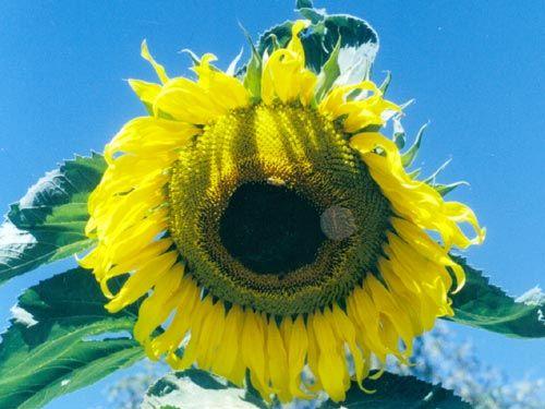 russian_mammoth_sunflower.jpg