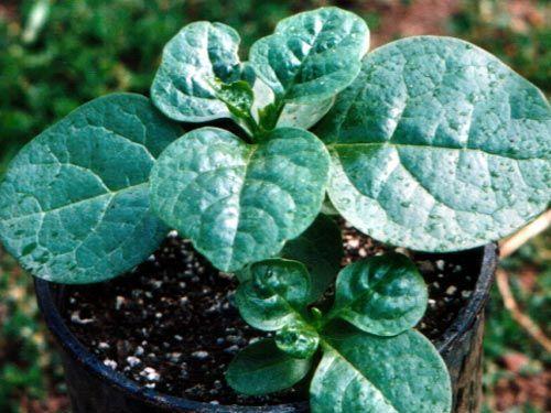 spinach2C20malabar.jpg