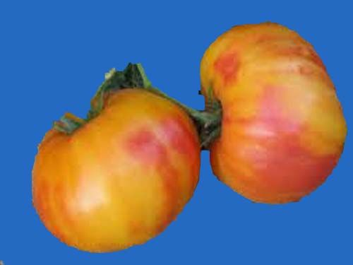 tomato2C20armenian20copy.jpg