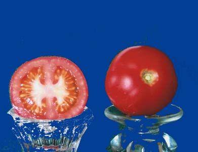 tomato2C20matina.jpg